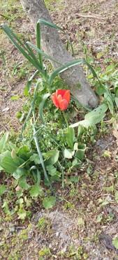 Tulipe Les clés de l'Envol
